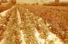 Uprawa róż w gruncie, lata 70. XX w.