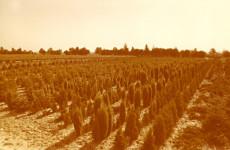 Uprawa roślin iglastych w gruncie, lata 70. XX w.
